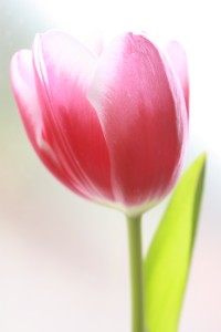 -absolutely_free_photos-original_photos-pink-tulip-2056x3088_88619